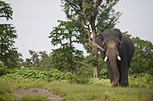 Asian elephant (Elephas maximus) in village in Mudumalai National Park, India