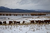 Cattle standing on snowy ground in eastern Oregon