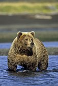 Brown bear standing in Hallo Creek fishing for sockeye salmon, Hallo Bay, Katmai National Park & Preserve, Southwest Alaska, Autumn