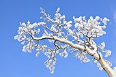 A Quaking Aspen (Populus tremuloides) covered with snow contrasts with a deep blue winter sky in Eagle River in Southcentral Alaska