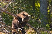 Brown bear cub playing on a tree branch at the Russian River, Kenai Peninsula, Southcentral Alaska, Summer