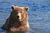 A Brown Bear sits in chest deep water in the Russian River, Kenai Peninsula, Southcentral Alaska, Summer