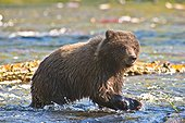 Brown bear cub fishes for salmon at the Russian River, Kenai Peninsula, Southcentral Alaska, Summer