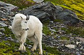 A young Mountain goat billy is grazing on plants near the Harding Icefield Trail at Exit Glacier in Kenai Fjords National Park in Southcentral Alaska, Summer