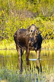 A young bull moose foraging for food in a pond near the Tony Knowles Coastal Trail in Kincaid Park, Anchorage, Southcentral Alaska, Spring