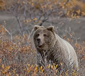 Brown Bear sits in fall colors in Denali National Park & Preserve, Interior Alaska