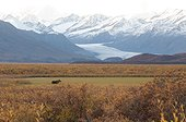 Moose grazes in a field in front of Maclaren glacier along the Denali highway, Southcentral Alaska, Fall