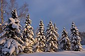 Sunset light shining on a row of snow covered spruce trees in Russian Jack Springs Park, Anchorage, Southcentral Alaska, Winter