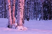 Pink Sunset light falling on Birch tree trunks at Russian Jack Springs Park, Anchorage, Southcentral Alaska, Winter