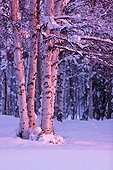Pink Sunset light falling on Birch trees at Russian Jack Springs Park, Anchorage, Southcentral Alaska, Winter