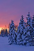 Sunset glow behind a row of snow covered spruce trees in Russian Jack Springs Park, Anchorage, Southcentral Alaska, Winter