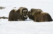 Two male Musk Oxen face each other in snow near Sagwon Bluffs along the Dalton Highway, Arctic Alaska, Spring