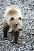 Grizzly Bear walking on gravel bar of Toklat River, Denali National Park & Preserve, Interior Alaska, Summer