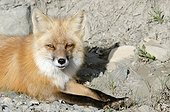 Close-up of a Red Fox lying in rocks, Highway Pass, Denali National Park & Preserve, Interior Alaska, Summer