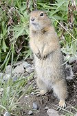 Arctic Ground Squirrel standing in Igloo Canyon, Denali National Park & Preserve, Interior Alaska, Summer