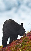 A Black Bear is feeding on berries on a hill side near the Harding Icefield trail at Exit Glacier in Kenai Fjords National Park, Southcentral Alaska, Autumn