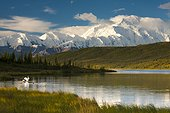 Trumpeter swans on Wonder Lake below Alaska Range & Mt. McKinley, Denali National Park & Preserve, Interior Alaska, Summer