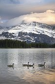 Canada geese (Branta canadensis) floating on Two Jack Lake with Mount Rundle in background, Banff National Park, Alberta, Canada