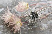 Macro close-up detail of natural Prairie Smoke wildflower specimens and a handcrafted sterling silver replica