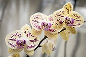 Harlequin yellow with red dots moth orchid flowers