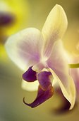 Light yellow with pink blush phalenopsis orchid in bloom