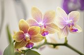 Blossoming plant of Phalaenopsis Orchid I-Hsin Venus 'Sweet Fragrant'