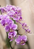 Phalaenopsis orchid hybrid. Fuller's Miss x Sung Woei Rosa