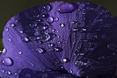 Petal of purple violet covered with raindrops.