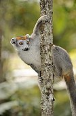Crowned Lemur (Eulemur coronatus), female hanging from a branch, Madagascar, Africa