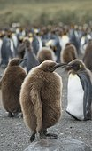 Gold Harbor, South Georgia Island.. Juvenile king penguins stand in a large group together on a beach.