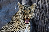 Khwai Concession, Okavango Delta, Botswana. A leopard, Panthera pardus, snarling and looking at the camera.