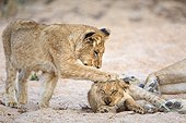 Sabi Sands, Mpumalanga, South Africa.. Lion cubs, Panthera leo, playing in a sandy dry riverbed.