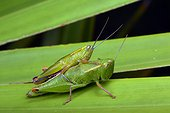 Florida, United States.. A pair of wingless Florida grasshoppers, Aptenopedes aptera, on palmetto.