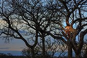 Sabi Sands, Mpumalanga, South Africa.. Leopard, Panthera pardus, with an impala kill, Aepyceros melampus, high in a tree at dusk.