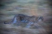 Khwai Concession, Okavango Delta, Botswana. A leopard, Panthera pardus, running in the grass in the evening.