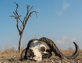Sabi Sands, Mpumalanga, South Africa.. African, or Cape buffalo, Syncerus caffer, skull on the ground with dead tree in the background.