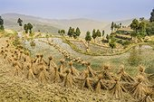 Mingao, Yongjia County, China.. Dried rice bundles waiting to be harvested on paddy fields in Yongjia County.