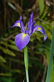 Florida, United States.. A blue flag iris, Iris versicolor, growing in a swamp.