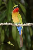 Benoue National Park, North, Cameroon.. A red-throated bee-eater, Merops bulocki, perches on a branch.
