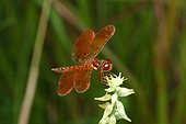 Fort Myers, Florida, United States.. An eastern amberwing, Perithemis tenera, resting on a flower.