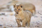 Sabi Sands, Mpumalanga, South Africa.. Lion cub, Panthera leo, standing in a sandy dry riverbed.