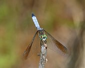 Fort Myers, Florida, United States.. A male blue dasher dragonfly, Pachydiplax longipennis, rests on a twig.