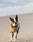 Ocracoke, North Carolina, USA.. A young Boston Terrier wearing a sweater explores the beach.
