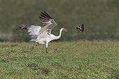 Rockport, Texas.. A whooping crane threatens a whistling duck and chases it away from its feeding area.