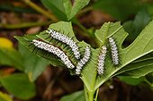 Florida, United States.. Zebra long-wing butterfly caterpillars, Heliconius charithonia.