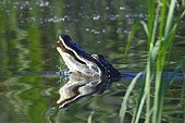 Florida, United States.. An American alligators, Alligator mississippiensis, on the waters surface.