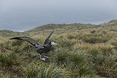 Prion Island, South Georgia Island.. An immature wandering albatross spreads its wings on a grassy cliff.