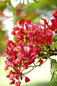 Flamboyant Tree red flowers (Grande-Terre, Grande-Terre, French Antilles, French West Indies)